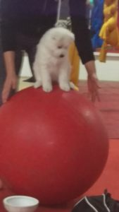 Samoyed Puppy Circus Dog
