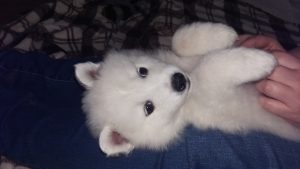 Samoyed puppy Luna