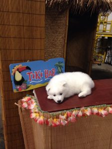 Samoyed Puppy on Tiki Bar